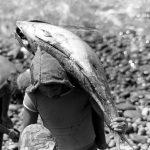 Tonno Alalunga e Yellowfin: differenze, caratteristiche e qualità